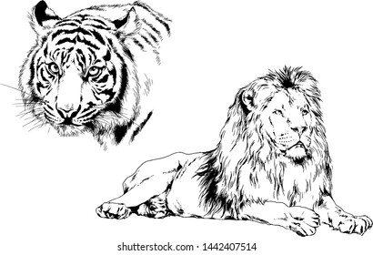 vector drawings sketches different predator , tigers lions drawn in ink by hand , objects with no background