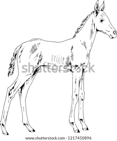 Vector Drawings Sketches Foal Horse Full Stock Vector Royalty Free