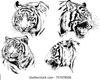 vector drawings snarling jaws of a tiger drawn in ink freehand sketches for tattoos with no background