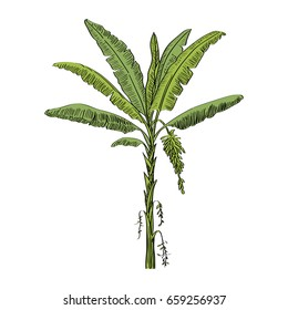 Vector drawn banana palm tree on white background in a sketch style. Exotic collection.
