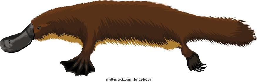 Vector duck billed animal australian platypus