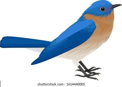 vector Eastern Bluebird isolated illustration