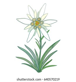 Vector Edelweiss or Leontopodium alpinum. Blooming flower and green leaves isolated on white background. Symbol of Alp Mountains in contour style. Alpine mountain flower for summer design.