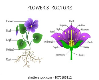 Vector education diagram of botany and biology, the structure of the flower in a section. Training banner scheme for scientific study, illustration.