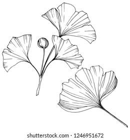 Vector. Engraved black and white ginkgo leaf. Plant botanical garden. Isolated ginkgo illustration element on white background.