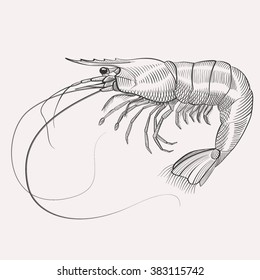 Vector engraved shrimp illustration highly detailed hand drawn isolated on white background