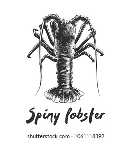 Vector engraved style illustration for posters, decoration and print. Hand drawn sketch of spiny lobster in monochrome isolated on white background. Detailed vegetarian food drawing.