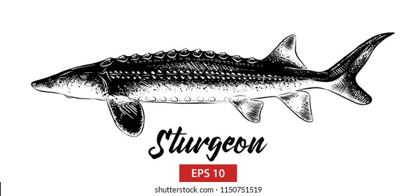 Vector engraved style illustration for posters, decoration and print. Hand drawn sketch of sturgeon fish in black isolated on white background. Detailed vintage etching style drawing.