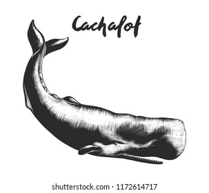 Vector engraved style illustration for posters, decoration and print. Hand drawn sketch of cachalot in monochrome isolated on white background. Detailed vintage woodcut style drawing.