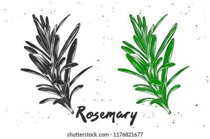Vector engraved style illustration for posters, decoration and print. Hand drawn sketch of rosemary in monochrome and colorful. Detailed vegetarian food drawing.