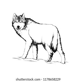 wolf drawing images stock photos vectors shutterstock