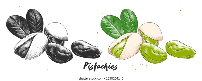 Vector engraved style illustration for posters, decoration and print. Hand drawn etching sketch of pistachios nuts in monochrome and colorful. Detailed vegetarian food linocut drawing.