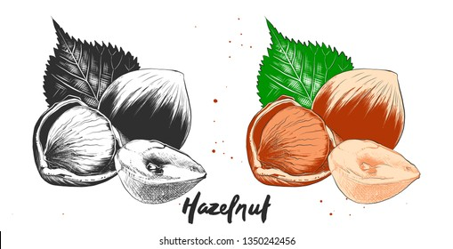 Vector engraved style illustration for posters, decoration and print. Hand drawn etching sketch of hazelnuts in monochrome and colorful. Detailed vegetarian food linocut drawing.