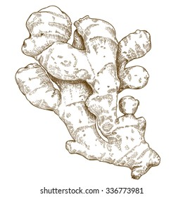 Vector engraving illustration of hand drawn ginger root isolated on white background