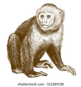 Vector engraving  illustration of  highly detailed hand drawn capuchin  isolated on white background