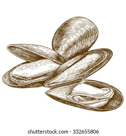 Vector engraving illustration of highly detailed hand drawn mussels isolated on white background