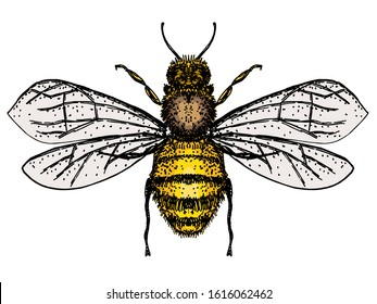 Vector engraving illustration of honey bee isolate on white background. Bee logo, hand drawn sketch of bee, vector artwork