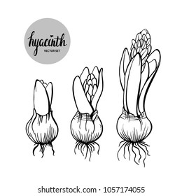 Vector engraving illustration of hyacinth flower stages of growth. Botanical illustration.