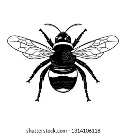 Vector engraving illustration of realistic honey bee on blank background - Vector EPS