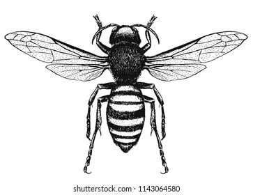 vector engraving illustration of wasp, black and white ink hornet