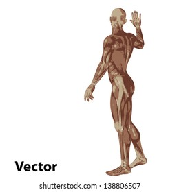 Vector eps concept or conceptual human or man 3D anatomy body with muscle isolated on white background as a metaphor to medicine,sport,male,muscular,medical,health,biology or fitness