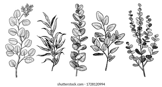Vector eucalyptus branches sketch. Different foliage hand drawn types.