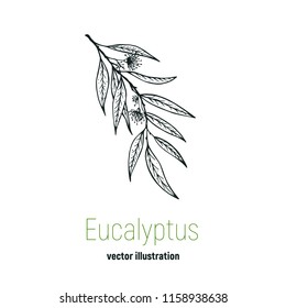 Vector eucalyptus hand drawn illustration.Hand drawn eucalyptus flowers.Healing and cosmetics herb.Medical plant. Great for traditional medicine design. Great design for natural and organic products.