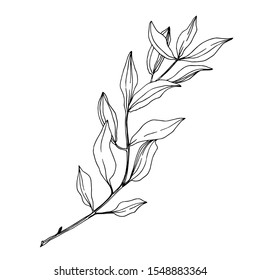 Vector Eucalyptus tree leaves jungle botanical. Black and white engraved ink art. Isolated eucalyptus illustration element on white background.