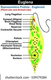 vector euglena cross section diagram representative protists euglenoid  plant like and animal like microscopic creature with