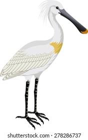 vector Eurasian Spoonbill