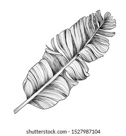 Vector Exotic tropical hawaiian summer. Banana tree jungle botanical leaf. Black and white engraved ink art. Leaf plant botanical garden floral foliage. Isolated leaf illustration element.