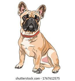 Vector fawn dog French Bulldog breed sitting, the most common colouring