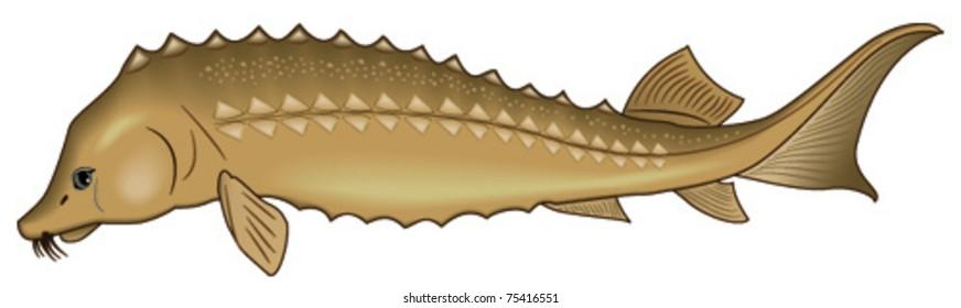 vector fish sturgeon