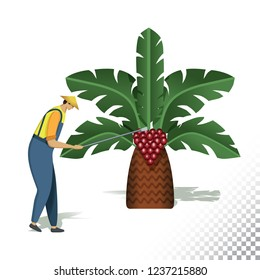 Vector flat icon illustration of farmer and palm tree. The farmer harvesting palm oil. Colorful objects on a transparent background.