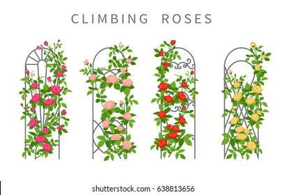 Vector flat illustration of climbing roses on garden trellis. Colored icons of vertical gardening isolated on white.