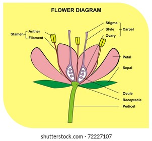 VECTOR - Flower Diagram Useful for School and Student