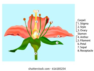 Vector Flower Parts Diagram. Stem cross section anatomy of plant. Detail of anatomy flower.