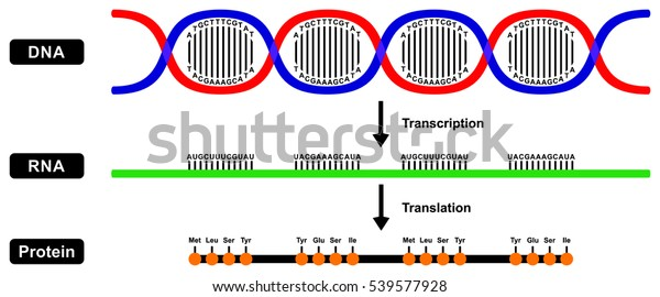 Vector Formation Mrna Rna Protein By Stock Vector (Royalty
