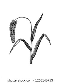 Vector Foxtail millet illustration. Hand drawn cereal sketch. Botanical drawing of gluten free plant. Healthy food collection.