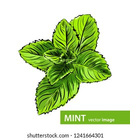 Vector fresh green mint leaves