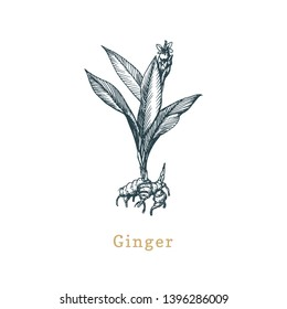 Vector Ginger sketch. Drawn spice herb in engraving style. Botanical illustration of organic, eco plant. Used for farm sticker, shop label etc.
