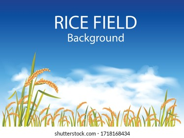 vector golden rice feild and white clouds with blue sky backgound.