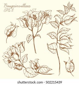 Vector graphic drawing of a flower of bougainvillea, engraving botanical illustration, sketch