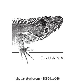 Vector graphic image of iguana. Black and white illustration of large herbivorous lizard, logotype, clipart in engraving style, design element for logo or template.