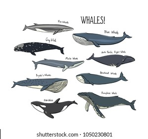 Vector graphic set of hand drawn whales. Beautiful ink drawing, heavy contour. Perfect design elements, marine animal illustration