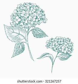vector graphics handmade, botanical illustration hydrangea flowers, isolated object