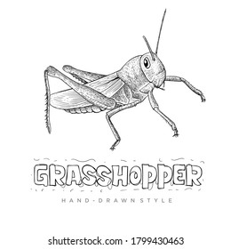 vector Grasshopper with hand drawn style. realistic animal illustrations