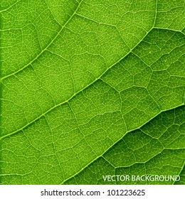 Vector green leaf macro background.