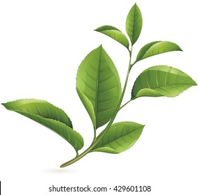 Vector Green tea leaf, isolated on white background. No transparency and shadows. Mesh fill