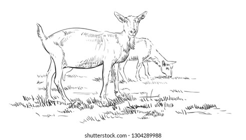 Vector hand drawing Illustration goats on pasture standing in profile. Monochrome vector hand drawing sketch illustration in black color isolated on white background.
